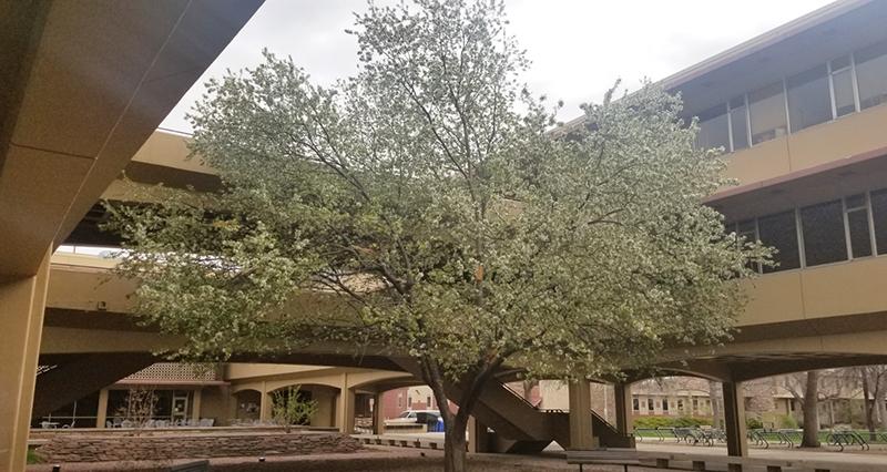 Clark tree in bloom